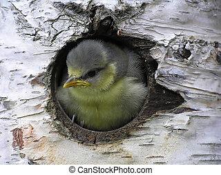 Great tit sitting in a birch tree
