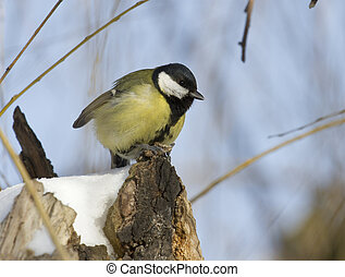 Great Tit sitting on the willow.