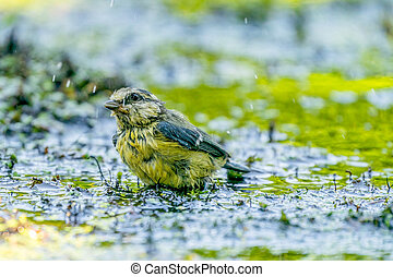 Great tit splashed water while swimming in the water of a bird's watering hole
