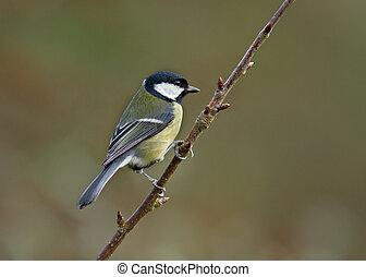 Great Tit - Great tit perched on a tree branch.