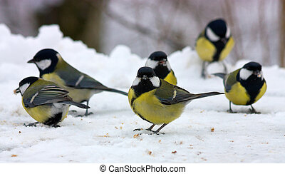 Great tits in winter