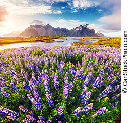 Great  view of  lupine flowers glowing by sunlight. Location Stokksnes cape, Vestrahorn, Iceland, Europe.