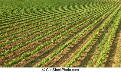 Great Vineyard in Spring Aerial