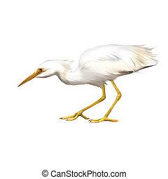 Great White Egret, Ardea alba, Isolated on white background