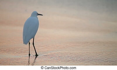 Great White Egret by the water's edge at sunrise,...