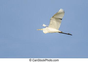 Great white egret (Casmerodius albu