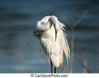great white egret cleaning ist feathers with a blue water ...