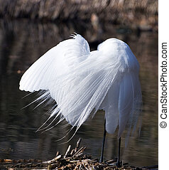 great white egret cleans plumelets