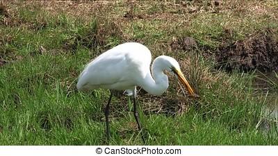 Great White Egret, egretta alba, Adult Fishing in Swamp,...