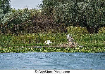 Great White Egret (egretta alba) and Grey Heron (ardea cinerea) in the Danube Delta, Romania