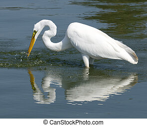 Great White Egret - Great white etret fishing in lake with ...