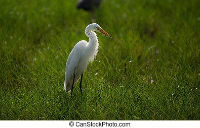 Great White Egret in a back lit green field