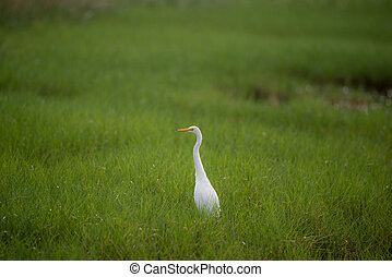 Great White Egret in a green field
