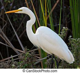 Great white egret in Florida everglades park - Profile side...