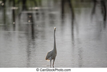 Great White Egret in river