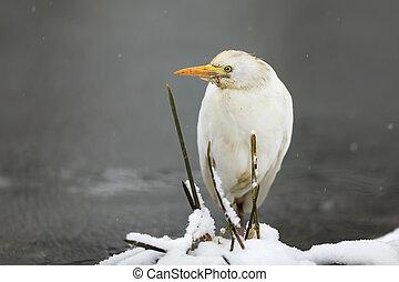 Ardea alba - Great white heron near water in winter