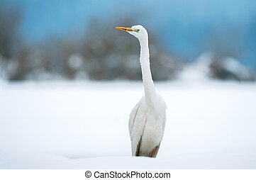 Great white egret in winter