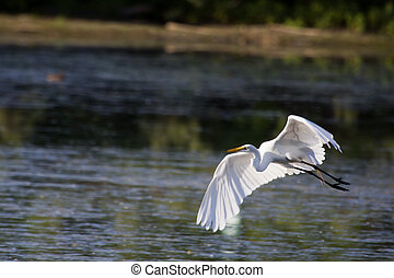 Great White Egret landing at a new location.