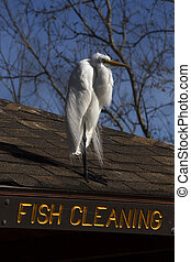 Great White Egret Looking for Work
