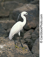 Great white egret on coastline
