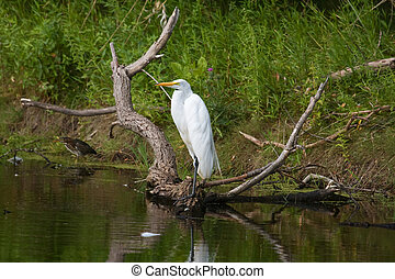 Great White Egret Perched.
