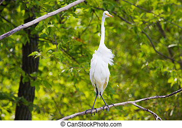 Great White Egret perched in a tree.