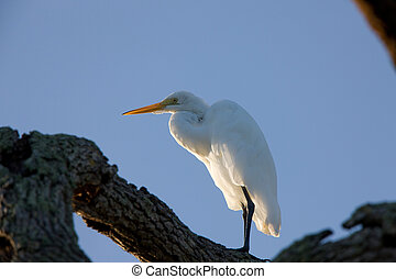 Great White Egret perched in Florida tree