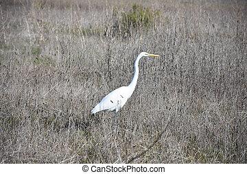 Great White Egret Stalking in a Field