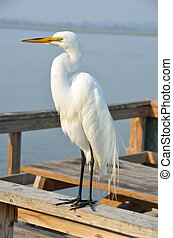 Great White Egret on a fishing pier St. Augustine, Florida,...