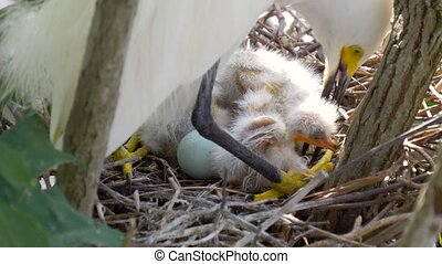 Great Egret nest with young chicks. Birds nest. - Great...