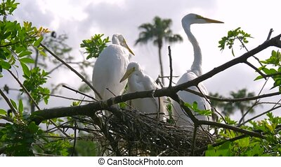 Great Egret nest with young chicks. Birds nest.