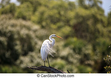 Great white egret wading bird perched on a tree in swamp