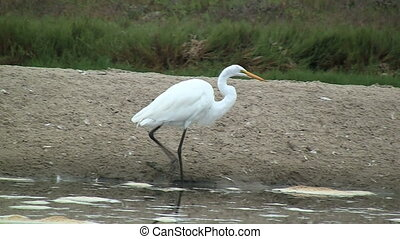 Great White Egret Walking - Great White Egret walking on...