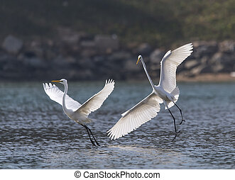 Great white egrets fighting