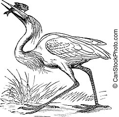 Great White Heron (Ardea occidentalis) vintage engraving. Old engraved illustration of white heron with caught fish.