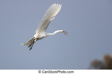 Great white heron flying on blue sky with spread wings