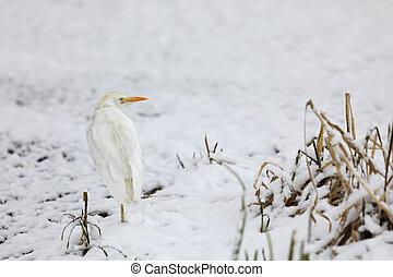 Ardea alba - Great white egret near water in winter