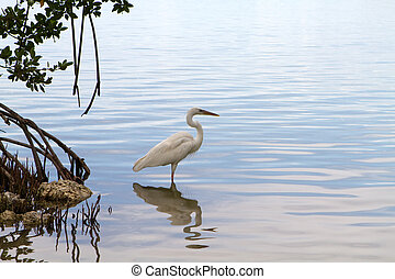 Great White Heron looking for food in the mangroves in the Florida Keys.