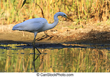 great white heron of autumn colors, long neck, yellow beak, ...
