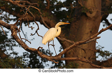 Great white heron standing in a tree