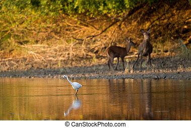 Great white heron standing in water - Great white heron...
