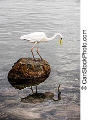 Great white heron standing on a rock looking for fish in ocean at Florida Keys.