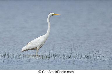 Great white heron walking in a lake, hunting