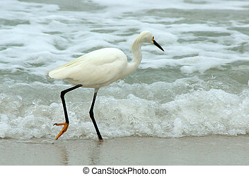 A graceful Great White Heron is walking along the water's edge looking for food, one foot is lifted, head slightly turned away