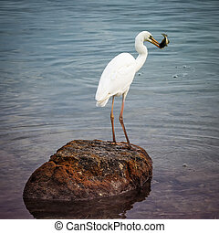 Great white heron with fish