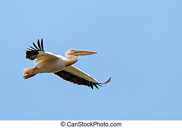 Great white pelican - Close up photo of flying great white...