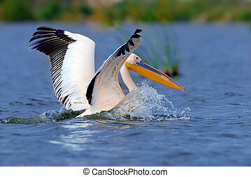 Great white pelican flying over the lake