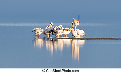 Great white pelican group on the blue waters of a lake in Amboseli, Kenya