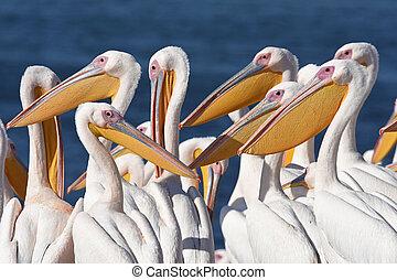 Pelican group standing