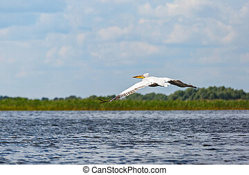 Great white pelican - Landscape photo of flying white...